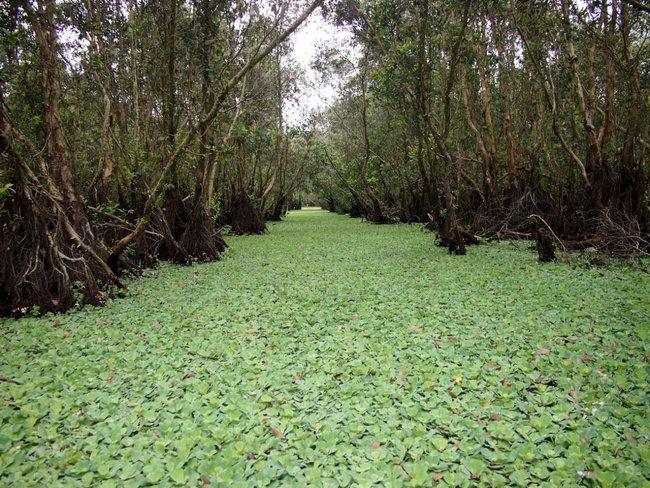 Каепутовый лес